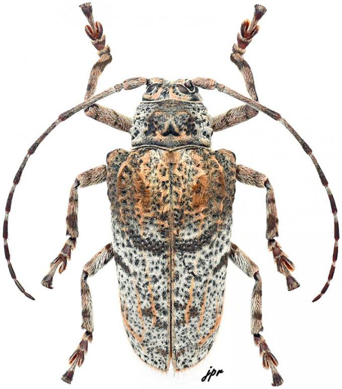 Moechotypa attenuata