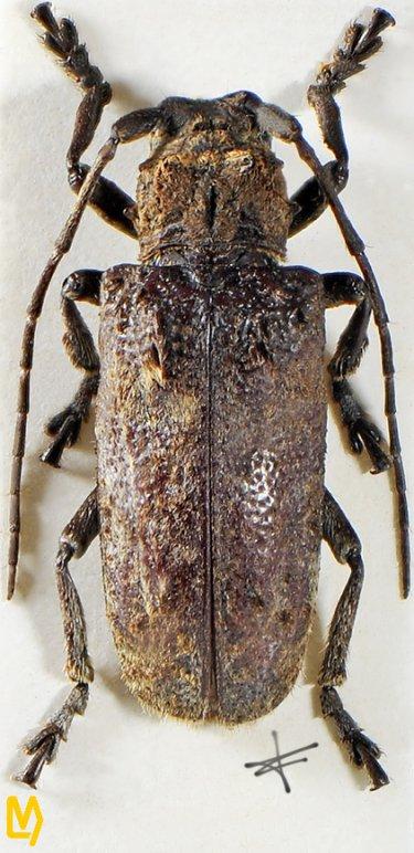 Moechotypa asiatica