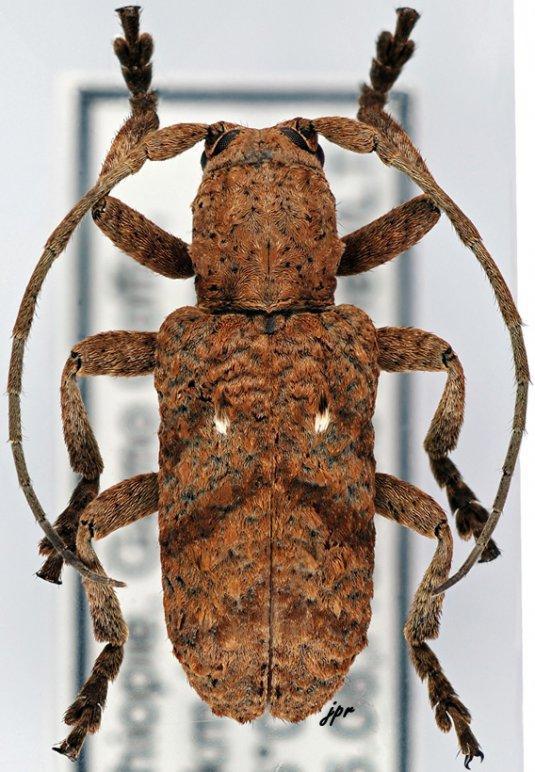 Biobessa albopunctata
