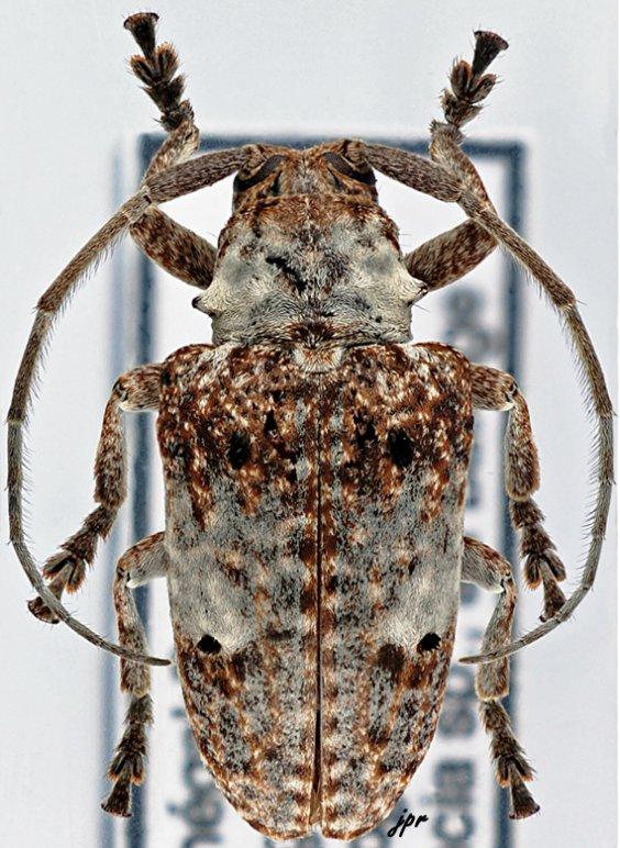 Crossotus albicollis