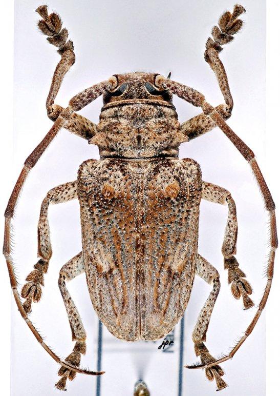 Crossotus subocellatus