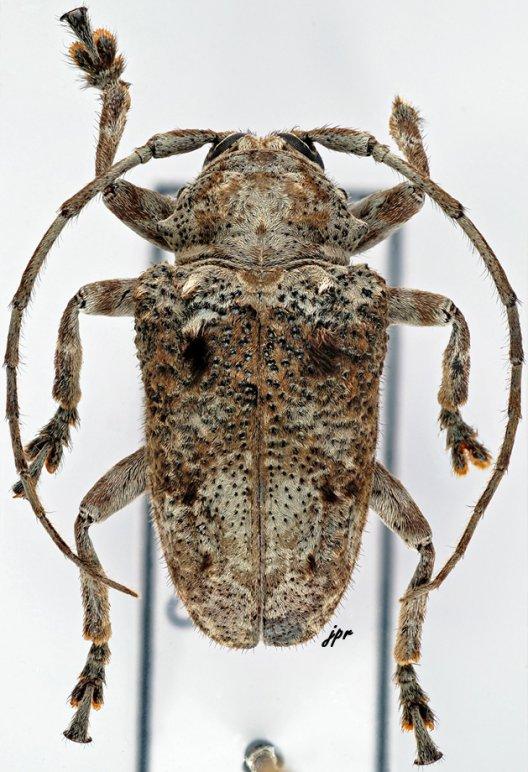 Epidichostates molossus