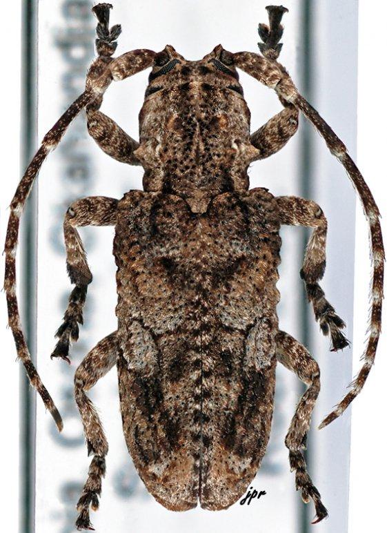 Hecyromorpha plagicollis