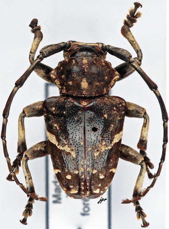 Leucographus albovarius