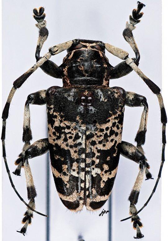 Leucographus variegatus
