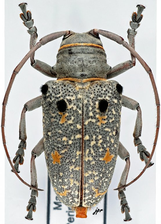 Megalofrea bioculata