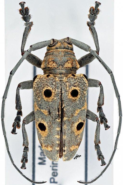 Megalofrea humeralis