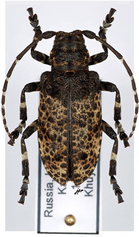 Moechotypa diphysis