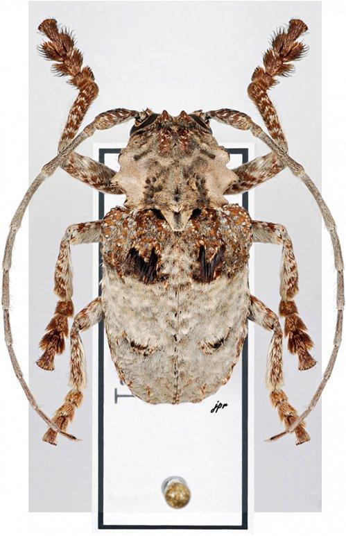 Tetradia lophoptera