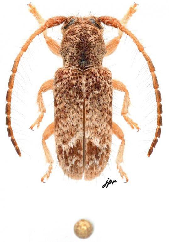 Desmiphora variola