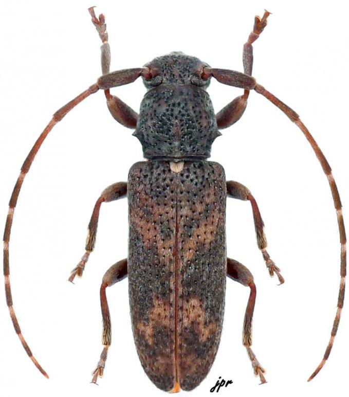 Diadelioides similis