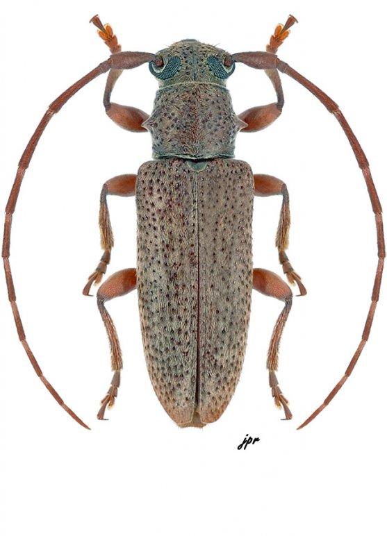 Estoloides annulicornis