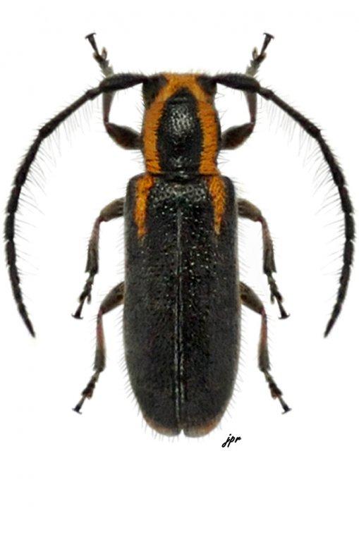 Eupogonius brevifascia