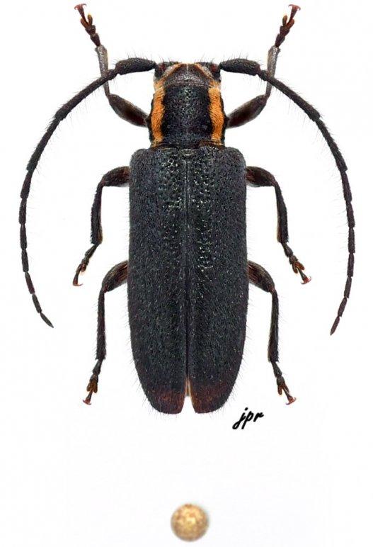 Eupogonius subarmatus