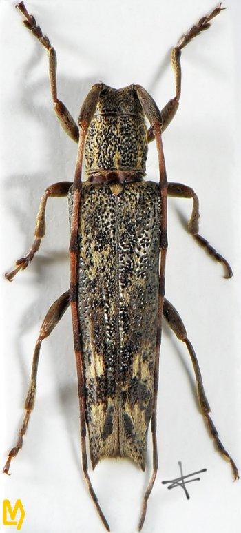 Euseboides gorodinskii