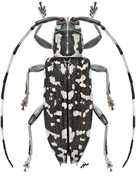 Pithomictus emandibularis