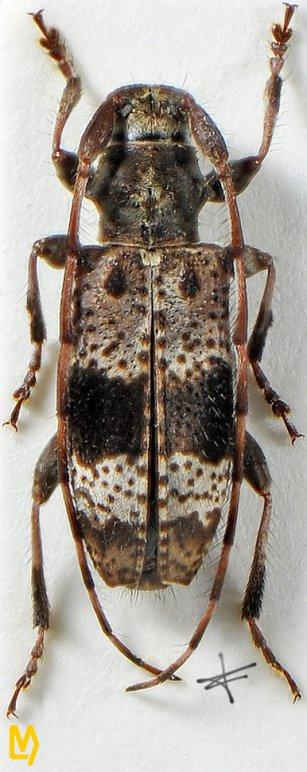 Rhopaloscelis unifasciatus
