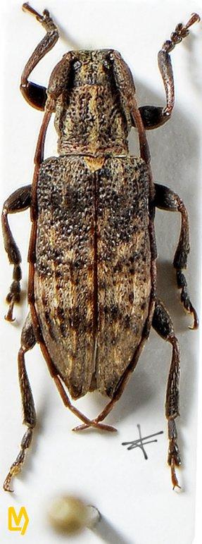 Sybrocentrura tristicula