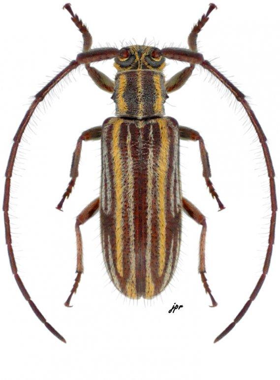 Unelcus lineatus