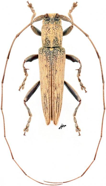 Mycerinopsis subunicolor