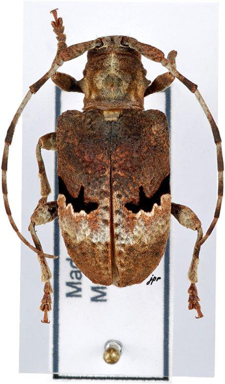 Aphronastes subfasciatus