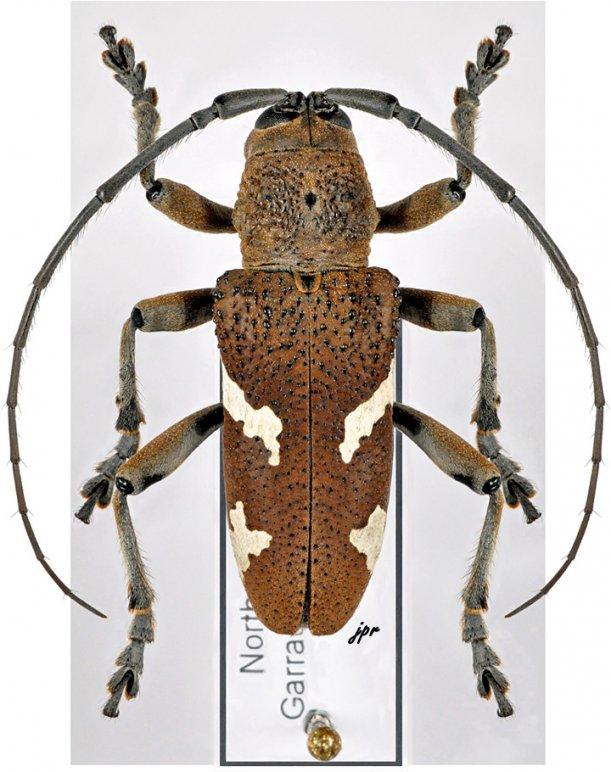 Cyocyphax praonethoides