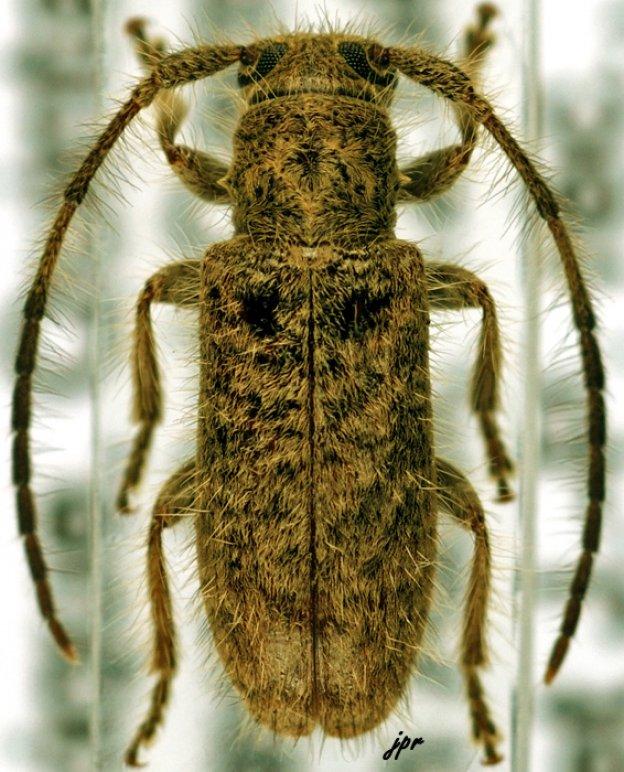 Eupogonius
