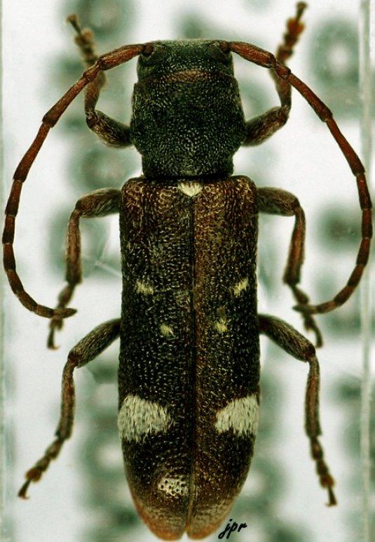 Psenocerus supernotatus