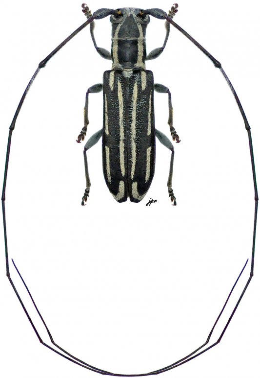 Cylindrecamptus lineatus