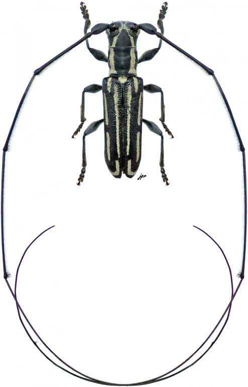 Cylindrecamptus lineatus