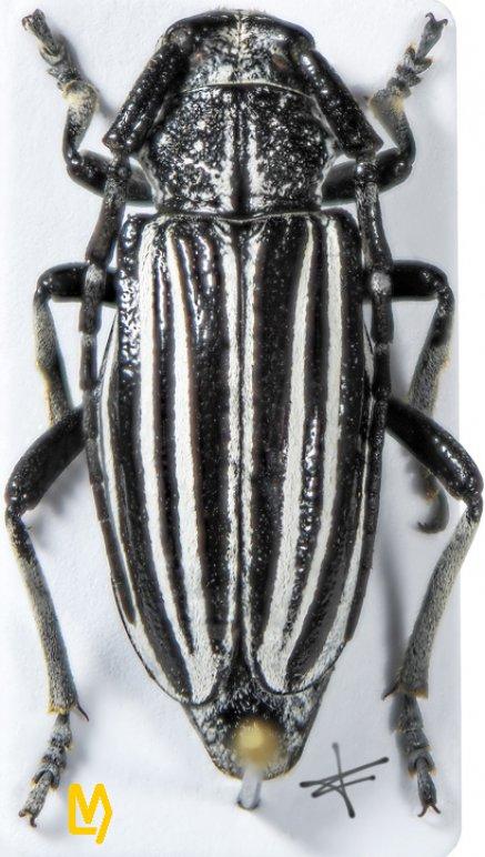 Eodorcadion exaratum exaratum