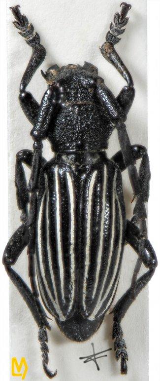 Eodorcadion maurum quinquevittatum