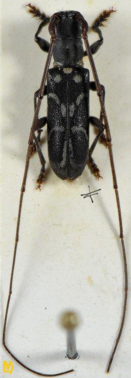 Microlenecamptus signatus