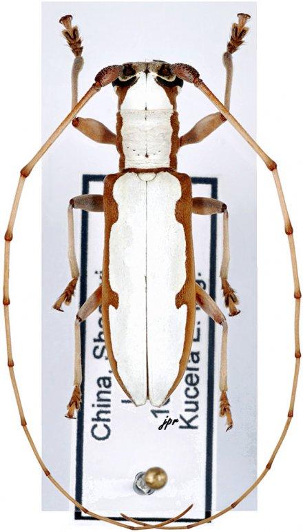 Olenecamptus cretaceus marginatus