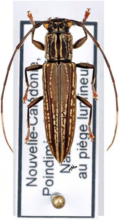 Enicodes fichtelii