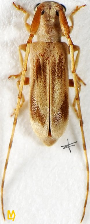 Eunidia ceylanica