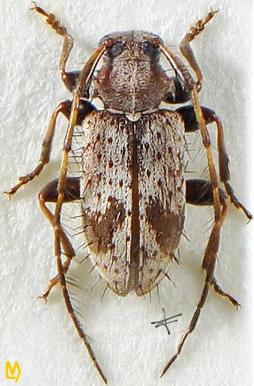 Exocentrus aculeatus