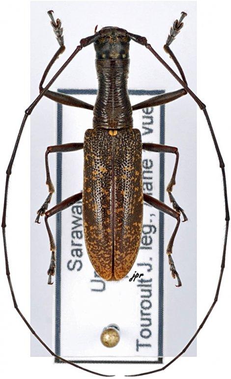 Gnoma longicollis