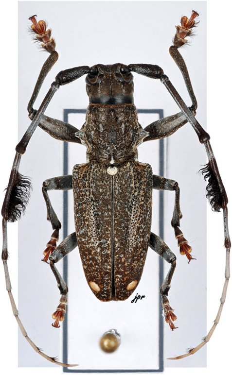 Imantocera sumbawana