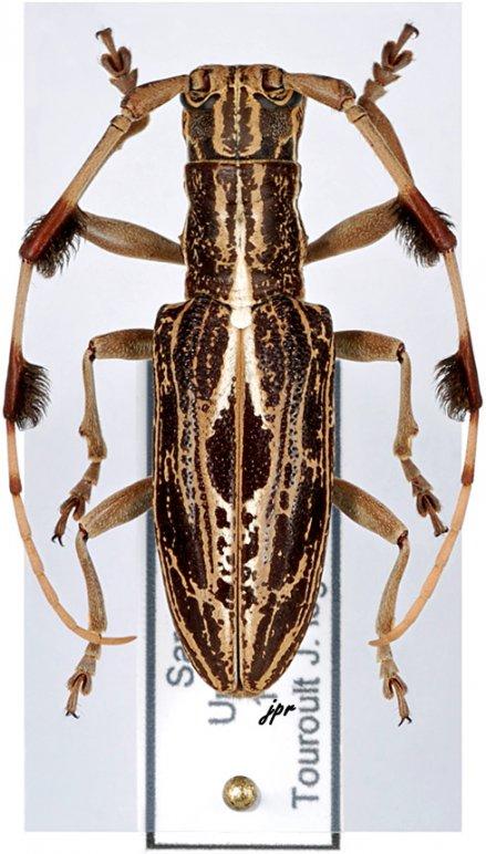 Psectrocera plumigera