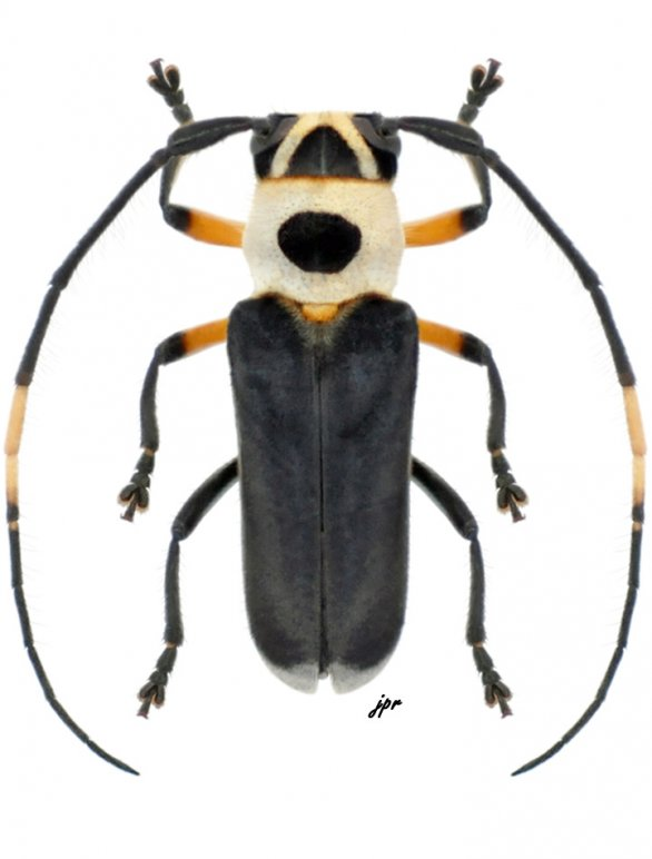 Cephalodina crassiceps