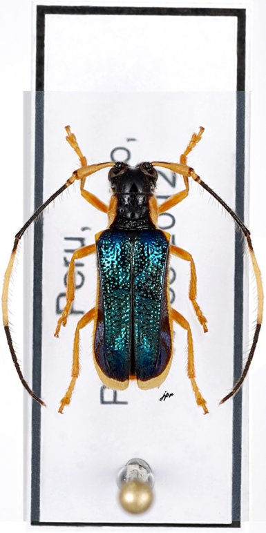 Chrysaperda metallica