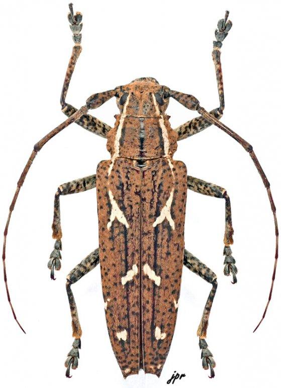 Homonoea (Homonoea)