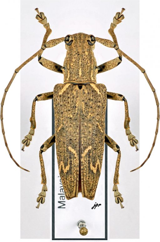 Trachelophora curvicollis