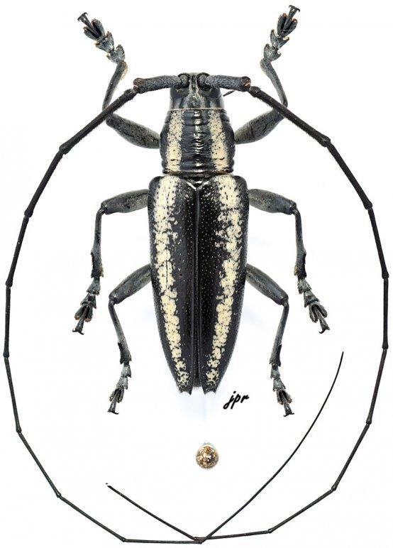 Acridocephala nicoletii