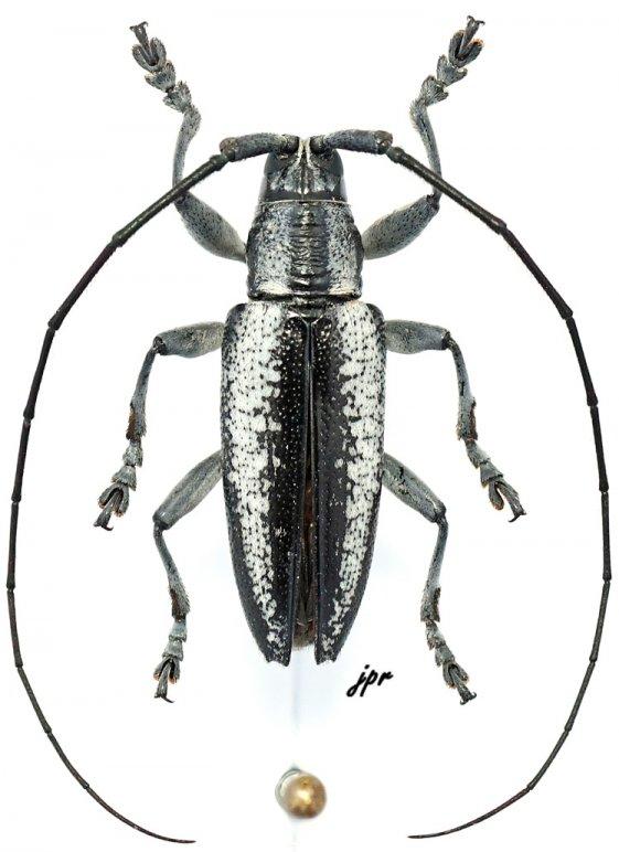 Acridocephala nubilosa