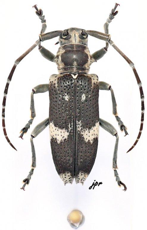 Cinctohammus cinctus