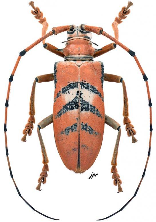 Cornuscoparia schlaginhaufeni