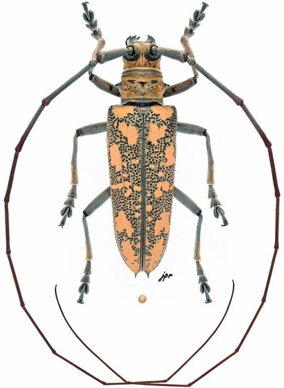 Hammatoderus rubefactus