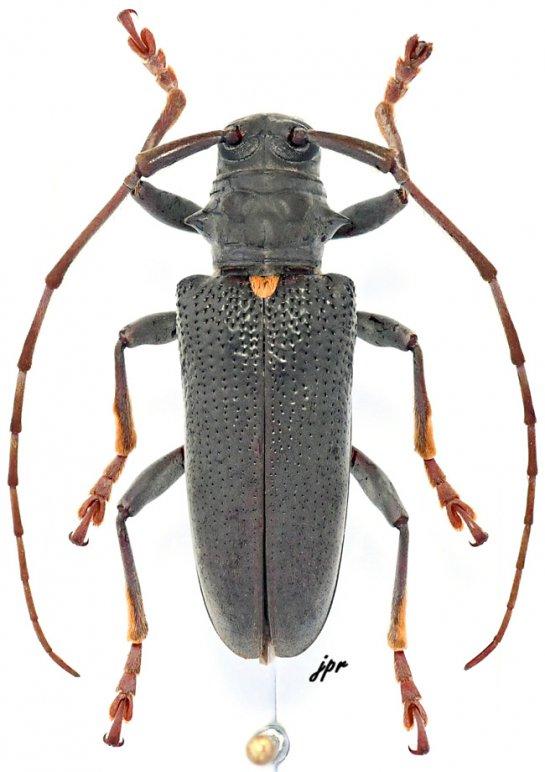 Monochamus buquetii buquetii
